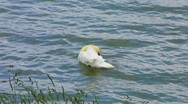 Stock Video Footage of HD: Swan In The Lake