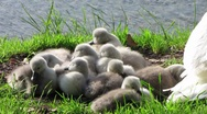 Stock Video Footage of HD: Baby Swans