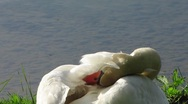 Stock Video Footage of HD: Swan Cleaning Itself
