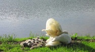 Stock Video Footage of HD: Swan With Cygnets