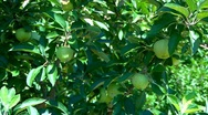 Stock Video Footage of Apples ripening under the summer sun