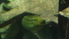 Big Green Moray Eel Close Front View in Shipwreck Stock Footage