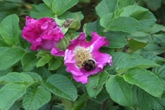 Bumblebee in a dogrose - stock footage