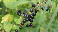 Stock Video Footage of Black currant, Russia