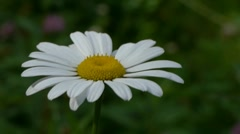 Ox-eye Daisy Stock Footage
