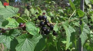 Stock Video Footage of Black Currant, Crimea