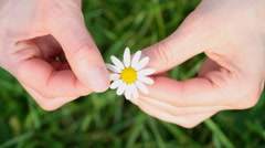 daisy flower - stock footage