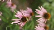 Stock Video Footage of Echinacea, Russia