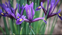 Purple flowers in spring Stock Footage