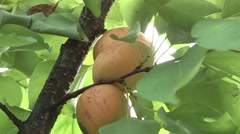 Apricot ripe in the garden Stock Footage