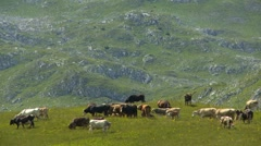 Cows, calves and bulls on the mountain pastures - stock footage