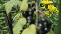 Blackcurrant and bees Stock Footage