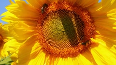 Bee pollination on sunflower Stock Footage