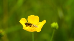 Hoverfly on yellow buttercup flower Stock Footage