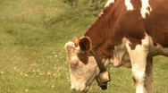 Stock Video Footage of Grazing cows