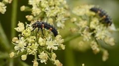 Ladybird Larvae on wildflowers - stock footage