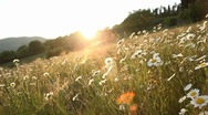 Stock Video Footage of Daisy field at sunset