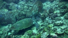 2 hawksbill turtle (Eretmochelys imbricata) talking to each other 2 Stock Footage