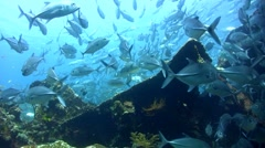 Huge school of bigeye trevally (Caranx sexfasciatus) on top of Liberty Wreck. - stock footage
