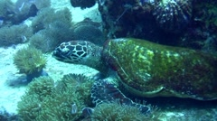 Hawksbill turtle (Eretmochelys imbricata) chased by pink anemonefish Stock Footage