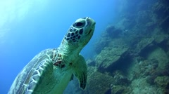 Green sea turtle (Chelonia mydas) swimming, close up Stock Footage