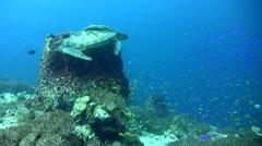 Green sea turtle (Chelonia mydas) laying inside barrel sponge 2 Stock Footage