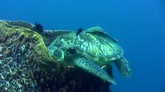 Green sea turtle (Chelonia mydas) laying inside barrel sponge Stock Footage