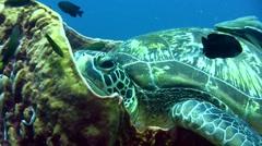Green sea turtle (Chelonia mydas) laying inside barrel sponge 4 - stock footage