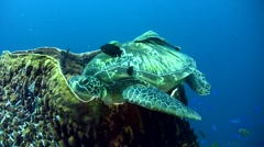 Green sea turtle (Chelonia mydas) laying inside barrel sponge 5 - stock footage