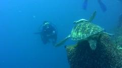 Green sea turtle (Chelonia mydas) landing in barrel sponge Stock Footage
