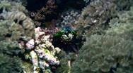 Stock Video Footage of Smashing mantis shrimp (Odontodactylus scyllarus) close up 2