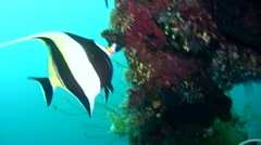 Moorish idol (Zanclus cornutus) close up 2 Stock Footage