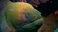 Giant moray (Gymnothorax javanicus) close up Stock Footage