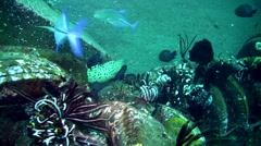 Honeycomb, laced or blackspotted moray (Gymnothorax favagineus) swimming - stock footage