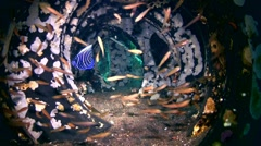 Honeycomb, laced or blackspotted moray (Gymnothorax favagineus) inside tires 2 Stock Footage