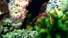 Spot-face or Fimbriated moray (Gymnothorax fimbriatus) Stock Footage