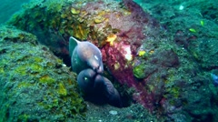 White-eyed moray (Siderea thyrsoidea) two in one, close up 2 Stock Footage