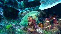 Leaf scorpionfish (Taenianotus triacanthus) white Stock Footage