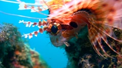 Spotfin lionfish (Pterois antennata) close up 3 Stock Footage
