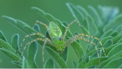 Green lynx spider Peucetia viridans Stock Footage