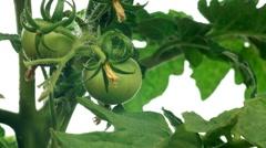 Tomato Timelapse Stock Footage