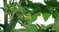 Stock Video Footage of Tomato Timelapse