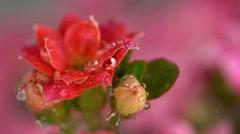Pink kalanchoe. Stock Footage