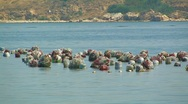 Cultivation of mussels. Stock Footage
