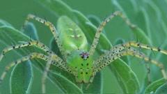 Green lynx spider Peucetia viridans Stock Footage