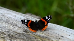 Red Admiral Buterfly Sunbathing Stock Footage