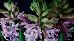 Hyacinth Timelapse Stock Footage