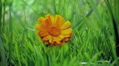 Calendula - stock footage