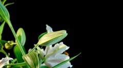 Lily Timelapse Stock Footage