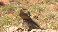 Bearded Dragon zoom Stock Footage